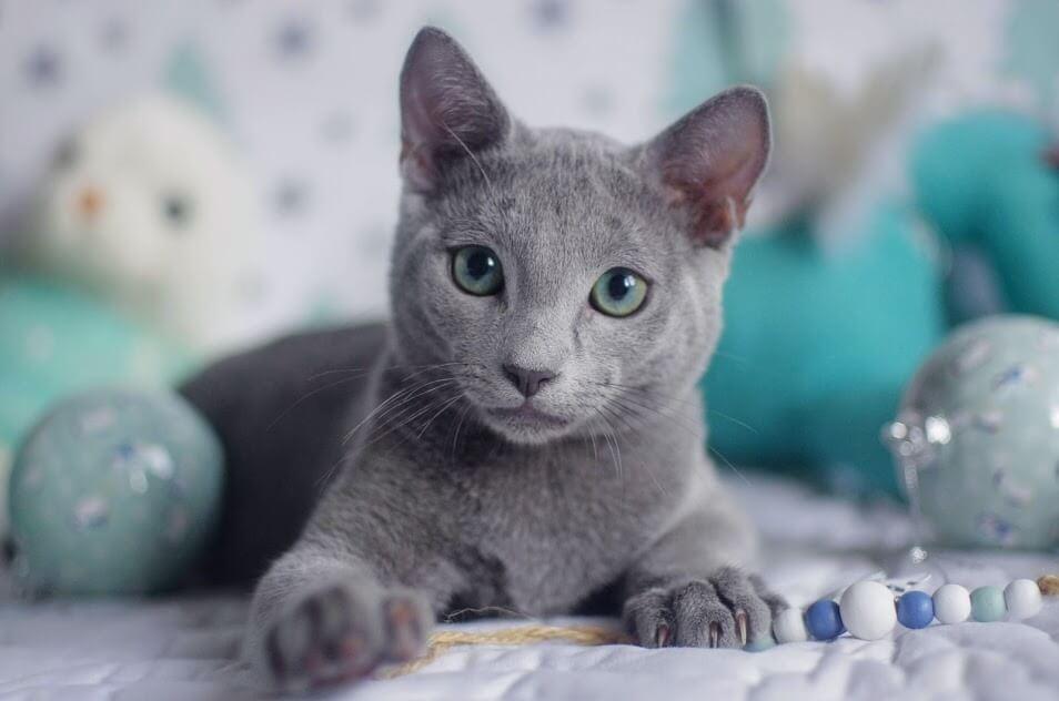 Кошка голубая русская