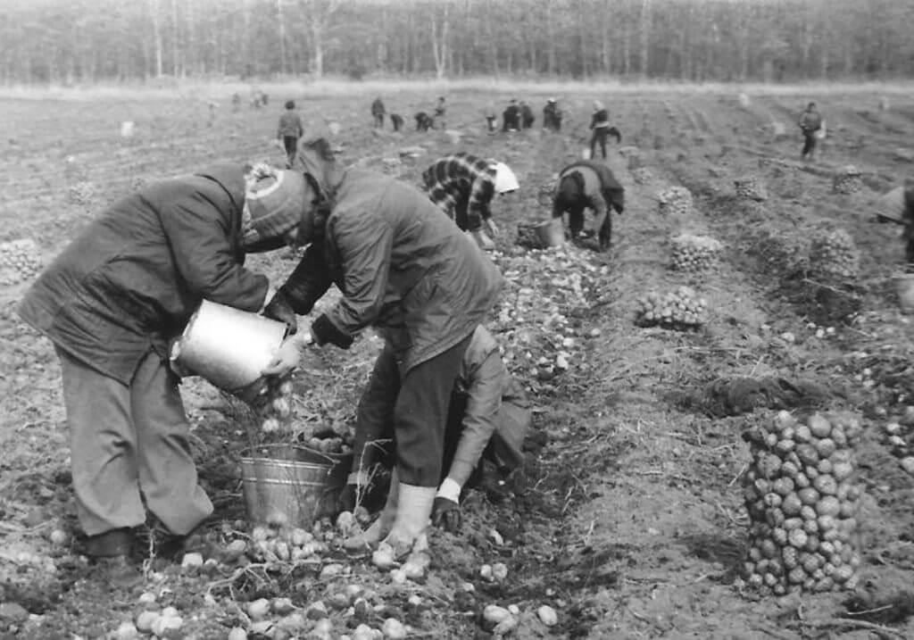 Сбор картофеля в СССР