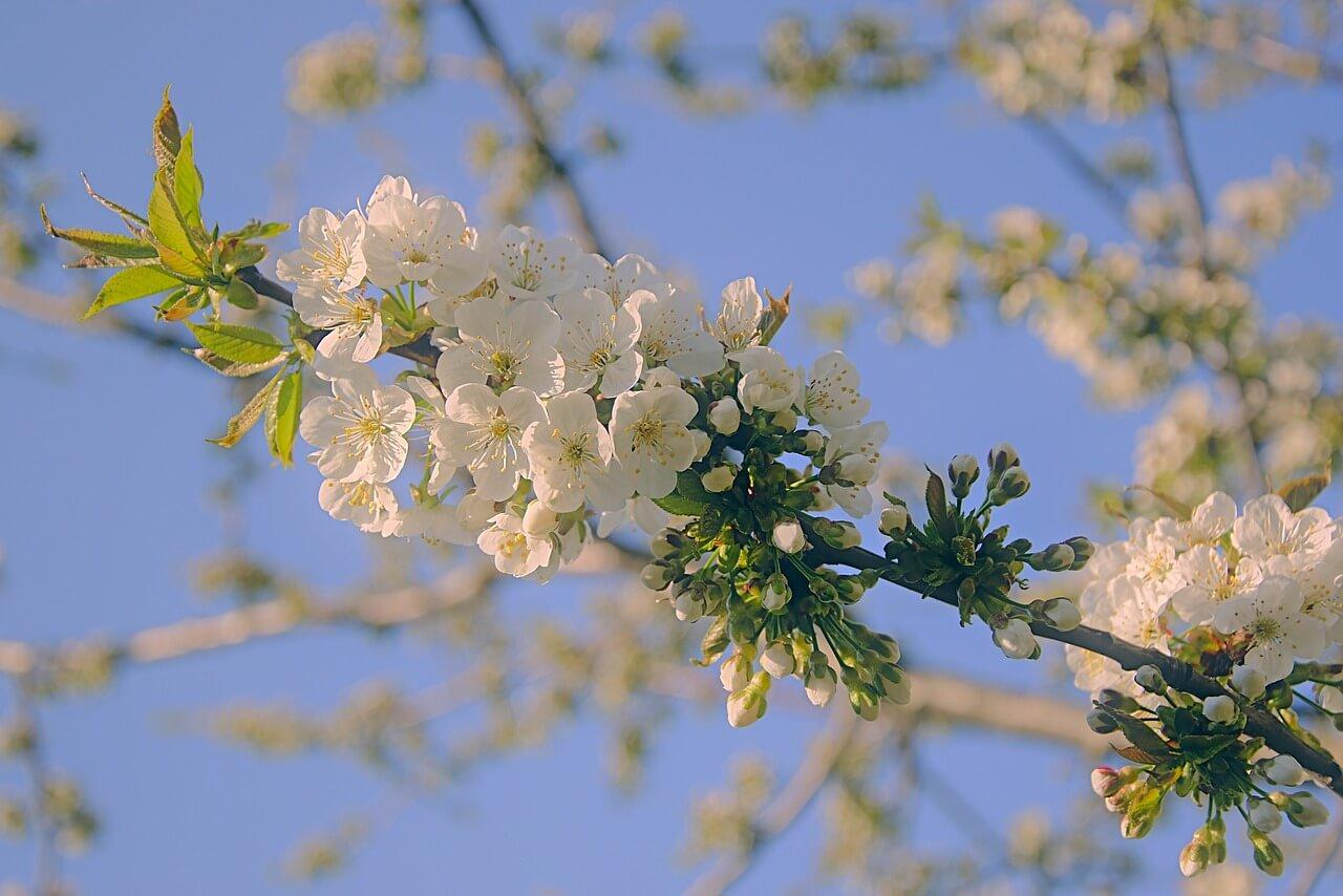 Цветение черешни
