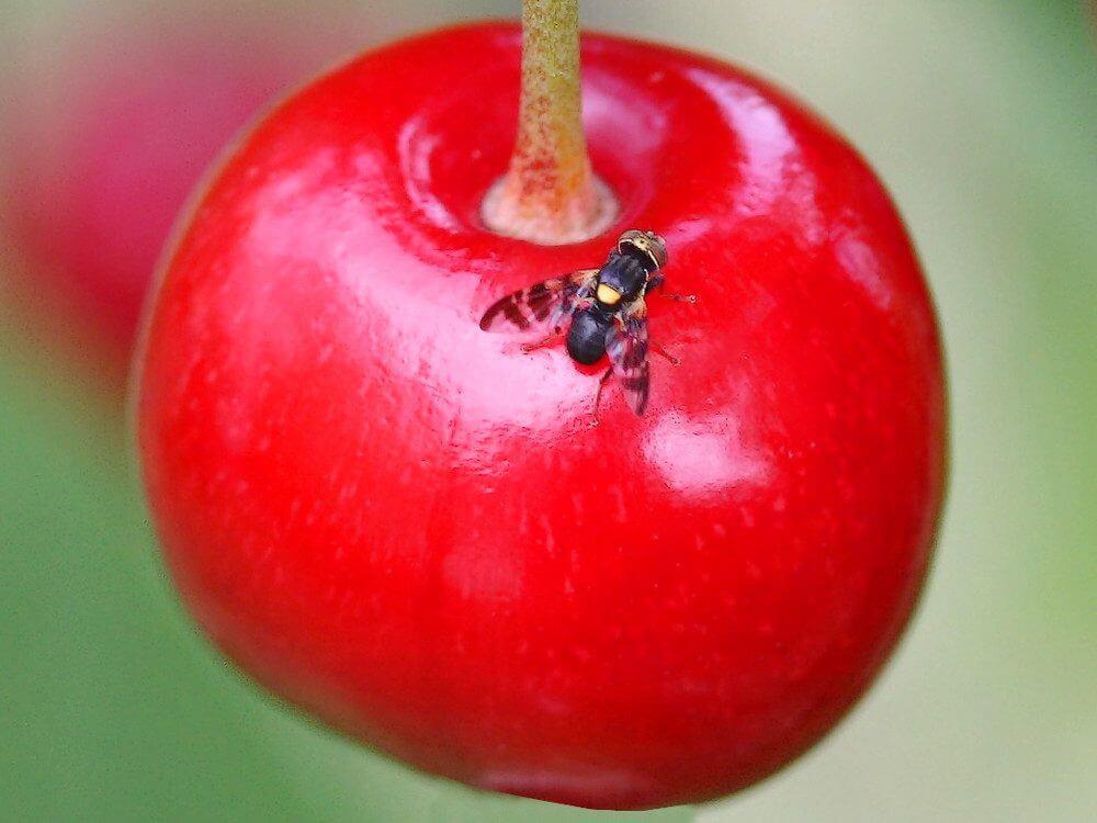 Вредитель вишневая муха